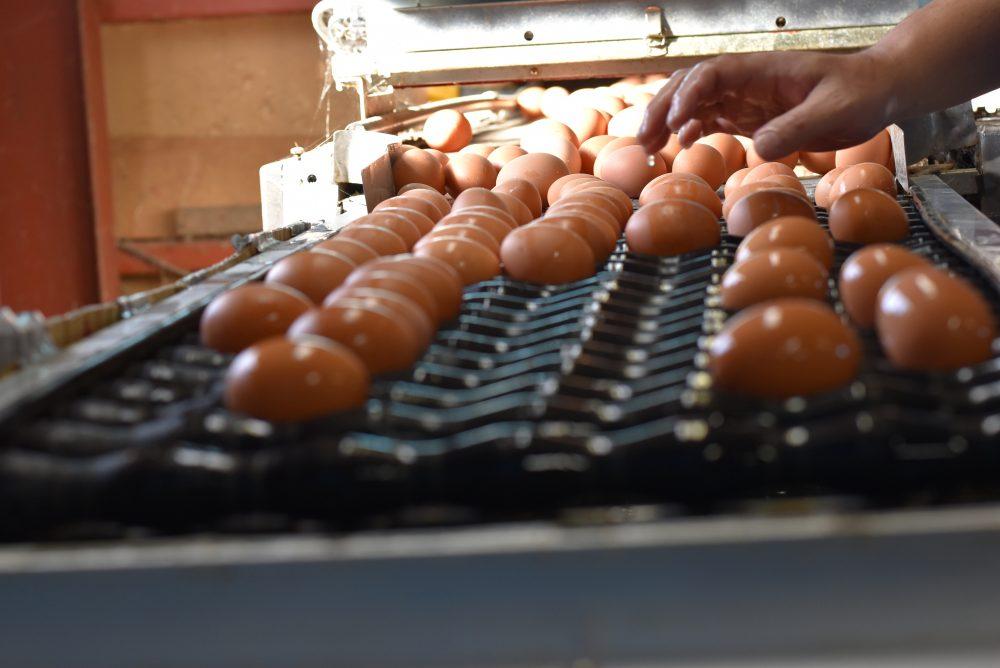 洗卵選別中